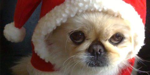 A mikulásnak öltözött Furby palotapincsi kutya © Kutyavilág - www.Hotdoggie.de