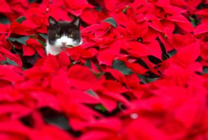 A cat sits sits amid of poinsettia plants in a greenhouse of a horticultural farm on November 18, 2010 in Beeskow, eastern Germany. The plant traditionally is used as a Christmas decoration and symbolise in some countries the Star of Bethlehem and the blood sacrifice. AFP PHOTO PATRICK PLEUL GERMANY OUT (Photo credit should read PATRICK PLEUL/AFP/Getty Images)